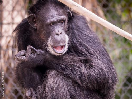 Fotografie, Obraz  Chimpanzee Monkey Surprise Expression