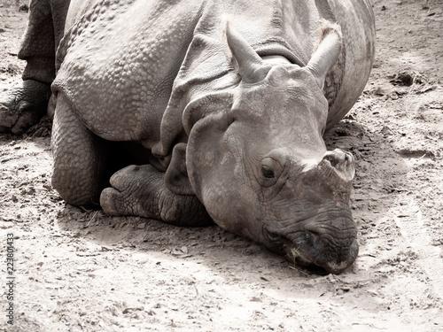 Fotografie, Obraz  Rhinoceros Relaxing in the Dirt