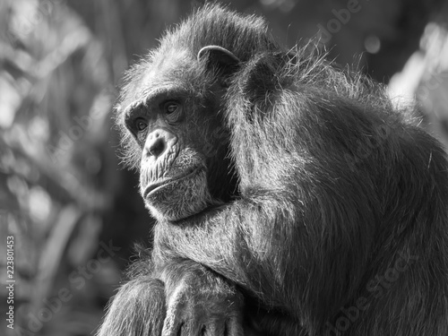 Fotografie, Obraz  Chimpanzee Monkey Sitting Thinking