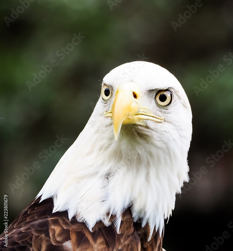 Closeup of American Bald Eagle Head