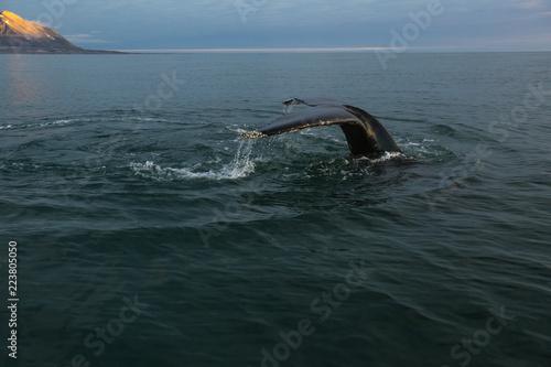 Humpback Whale in the Arctic. North sea.