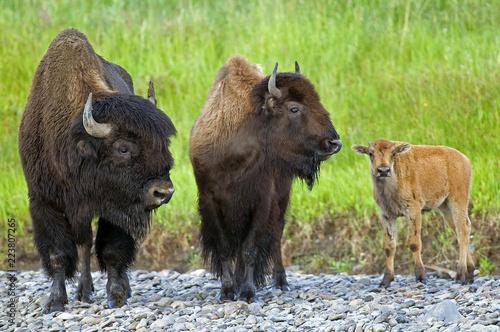 Bison triple
