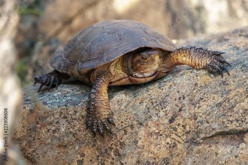 Foto op Aluminium Schildpad California western pond turtle resting on a large rock.
