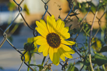 A Solo Sunflower Growing Throu...
