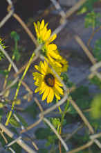 Two Sunflowers In Difference L...