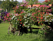 Old Horse Cart With Flowers