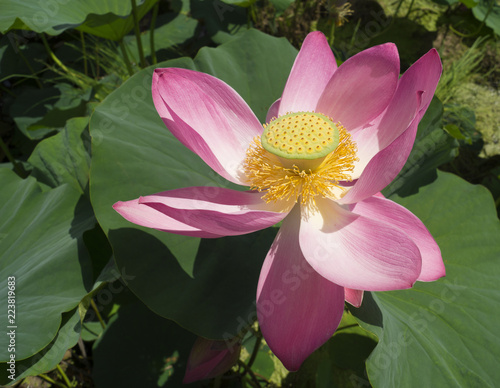 Foto op Canvas Lotusbloem Beautiful pink lotus flower in blooming