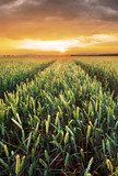 Rural landscape with wheat field on sunset - 223823834