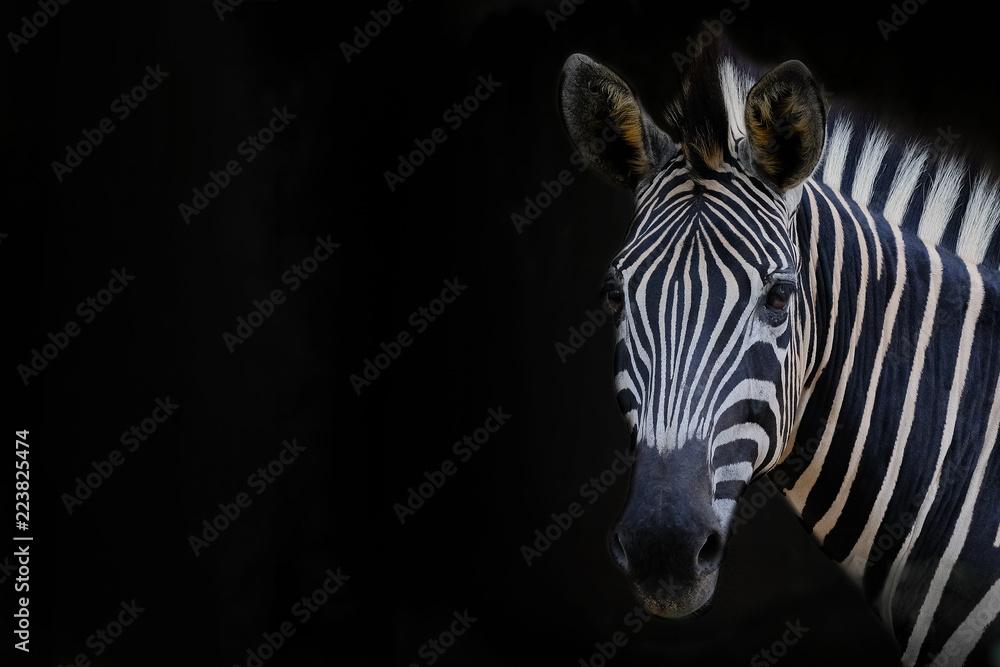 Fototapety, obrazy: Zebra head with black background