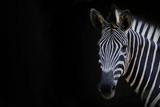 Fototapeta Zebra - Zebra head with black background