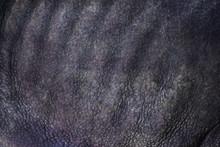 Close-up Of Black Rhinoceros (...