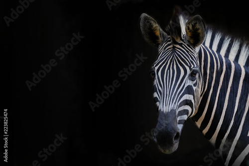 Zebra head with black background