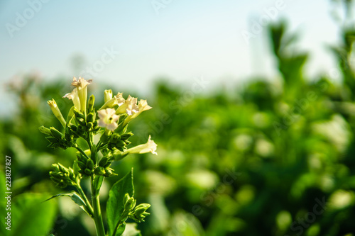 Blooming tobacco plants with leaves. Closeup shot