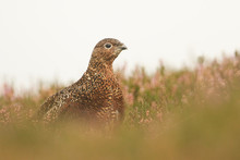 A Stunning Red Grouse  (Lagopus Lagopus) Standing In The Middle Of Heather On The Moors.