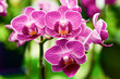 pink Phalaenopsis or Moth dendrobium Orchid flower in winter or spring day tropical garden Floral nature background.Selective focus.agriculture idea concept design with copy space add text.