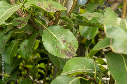 Fotografía  Disease of leaves and vines of pears close-up of damage to rot and parasites