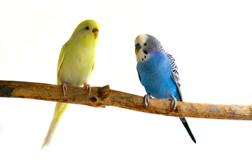Two wavy parrots sit on a branch isolated on a white background. Birds