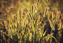 Foxtail Grass In The Morning Sun