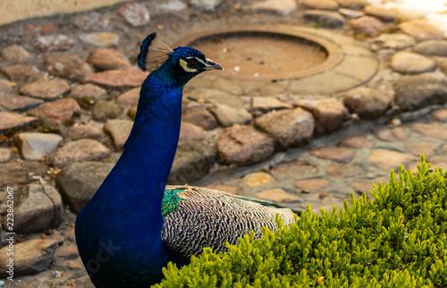 Foto op Aluminium Pauw peacock in the park of the Czartoryski Palace