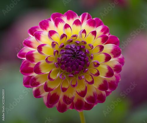 Beautiful multi-colored Dahlia Flower