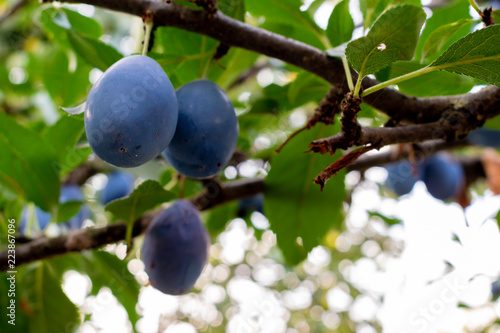 Ripe Plum fruits hanging on a tree branch in the garden