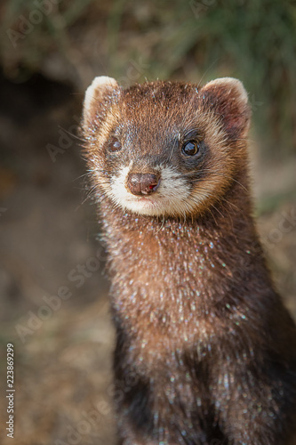 Fotografija  Upright vertical photograph and close ups portrait of a polecat