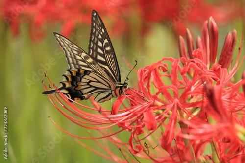 Papiers peints Corail 赤い彼岸花と蜜を吸っている蝶