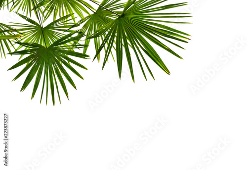 Tropical leaves palm tree ( Livistona ) on a white background with space for text. View from below