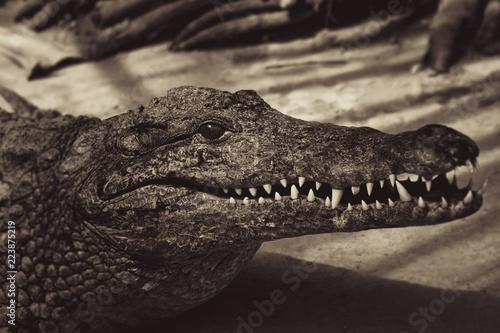 Foto op Plexiglas Krokodil Crocodile