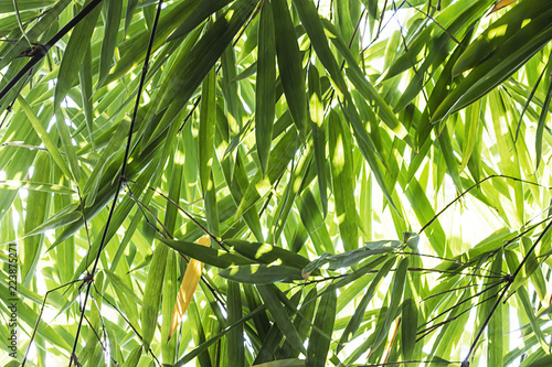 Foto op Plexiglas Bamboe Bamboo leaves in the forest.
