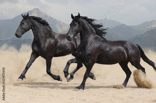 Fotografía  two black Frisian horses run at a gallop
