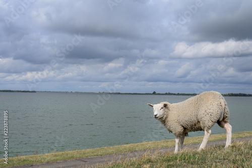 Sheep on Dutch dike