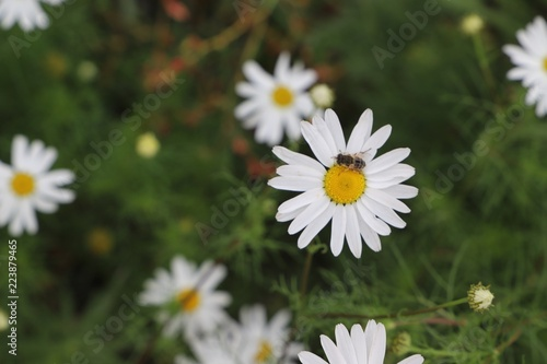Chamomile field of flowers. Alternative medicine, Spring Daisies Flower. Nature scene with blooming medical wild chamomile. Natural blurry background.