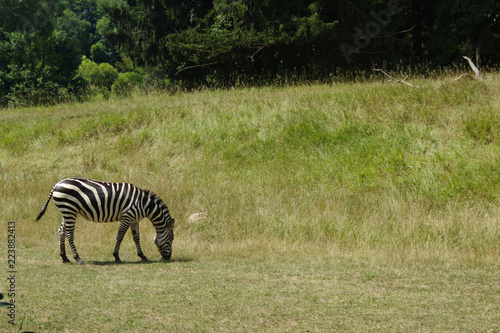 Zebra Grazing in a Grassy Field With Pine Trees in the Background