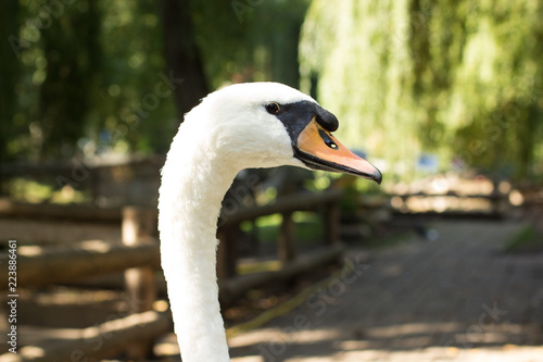 farm swan animal portrait looking at camera in outdoor park natural environment space
