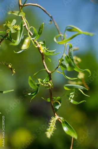 Fototapeta zieleń, drzewo, roślina, gałęzie, wiosna, liście, wierzba, lato, życie, charakter obraz