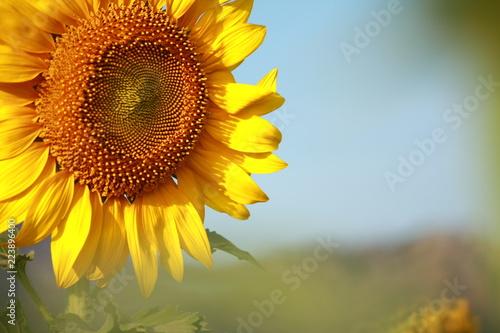 Sunflower garden in Lopburi Thailand.