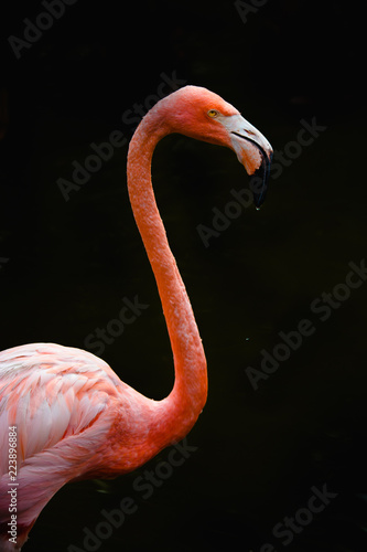 Fotobehang Flamingo pink flamingo with long neck and black background