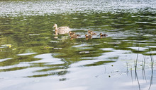 Birds On The Pond. A Flock Of Ducks And Pigeons By The Water. Mi