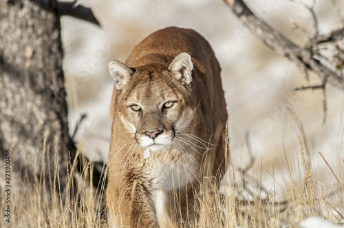 Photo sur Toile Puma Prowling Cougar in Trees
