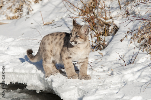 Photo  Baby Cougar in Winter