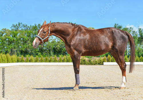Beautiful horse, blue sky and green trees as a background. Brown horse closeup portrait, equestrian sport. Side view head shot of a thoroughbred chestnut stallion.