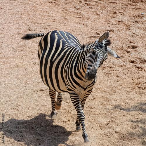Tuinposter Zebra Grant Zebra (species: Equus burchelli boehmi) is dancing.