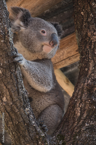 Staande foto Koala Koala bear sitting on a tree