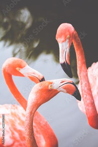 Garden Poster Flamingo 3 flamingo's heads in water