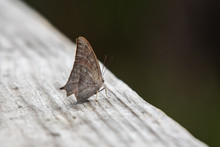 Goatweed Leafwing On A Hand Rail!