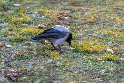 Photo  crow bird sitting on the grass