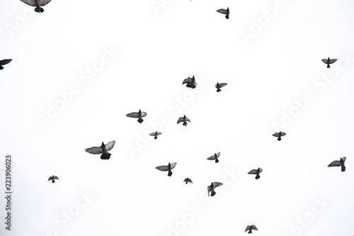 A flock of pigeons flies across the sky. Birds fly against the s