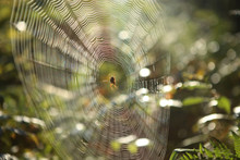 Cobweb With Cross Spider On Grass Bent In Forest. Araneus Diadematus Spider Web On Bent In Sunrise.