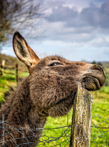 Deurstickers Ezel Comical shot of donkey scratching head on wooden post
